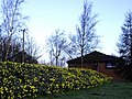 Daffodils next to Travelodge - geograph.org.uk - 1240747.jpg