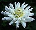 """Dahlia - """"Le Castel"""" cultivar.jpg"""