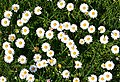 Daisy (Bellis perennis) - geograph.org.uk - 793215.jpg