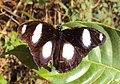 Danaid Eggfly - Hypolimnas misippus 03.JPG