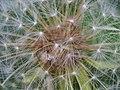 Dandelion (42498687612).jpg