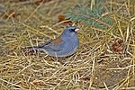Dark-eyed Junco, Gray Headed Race.jpg