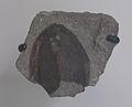 Dartmuthia gemmifera AMNH 8465.jpg