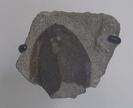 Dartmuthia