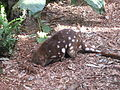 Dasyurus maculatus -Billabong Koala and Wildlife Park, New South Wales, Australia-8b.jpg