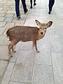 Deer in Todaiji Temple.jpg