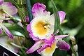 Dendrobium Angel Smile Kibi 4zz.jpg