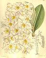 Dendrobium amabile (as Dendrobium bronckartii) - Curtis' 135 (Ser. 4 no. 5) pl. 8252 (1909).jpg
