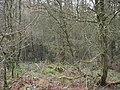 Dense wooddland and undergrowth at the summit of Mynydd Llwydiarth - geograph.org.uk - 957990.jpg
