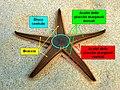 Descrizione stella Astropecten.jpg