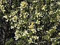 Desert bitterbrush, Purshia glandulosa (16861055115).jpg