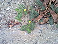 Desert plant with tiny yellow flower by irvin calicut.jpg