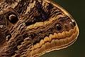Detalhes da asa de uma borboleta olhos-de-coruja.jpg