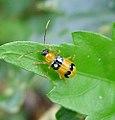 Diabrotica species, probably. (Galerucinae Leaf beetle) - Flickr - gailhampshire.jpg