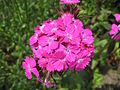 Dianthus barbatus (14498881227).jpg