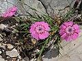 Dianthus callizonus 6.JPG