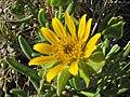 Didelta carnosa (Less.) Roessler (Asteraceae) (6929291965).jpg