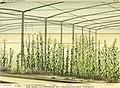 Die mutationstheorie. Versuche und beobachtungen über die entstehung von arten im pflanzenreich (1903) (20313480793).jpg