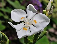 Photograph of a white flower with 6 petals