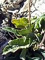 Digitalis purpurea subsp purpurea var nevadensis LeavesandStemCloseup.jpg