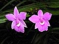Dimerandra (Epidendrum) stenopetala -新加坡植物園 Singapore Botanic Gardens- (9158241098).jpg