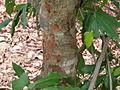 Dimocarpus longan 11.JPG