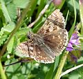 Dingy Skipper. Erynnis tages. - Flickr - gailhampshire.jpg