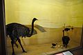 Diorama - African Desert - Zoological Gallery - Indian Museum - Kolkata 2014-04-04 4396.JPG