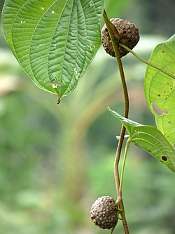 Dioscorea bulbifera at Kadavoor.jpg