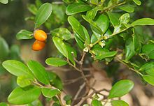Diospyros humilis fruit foliage and flowers.jpg