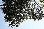 Diospyros malabarica 10zz.jpg