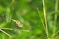 Diplacodes trivialis female in Kadavoor.jpg