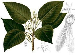 Dipterocarpus grandiflorus - Image: Dipterocarpus grandiflorus Blanco 2.263 cropped