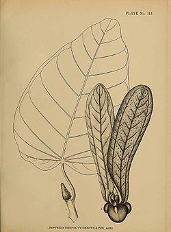 Dipterocarpus tuberculatus01.jpg