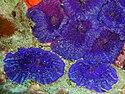 Светящийся белок красного цвета был выделен из ДНК коралла Discosoma и использован в получении нового вида генетически модифицированных аквариумных рыб