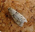 Diurnea fagella. Oecophoridae. - Flickr - gailhampshire (1).jpg