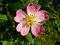 Dog Rose in Gunnersbury Triangle.jpg