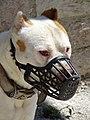 Dog with Muzzle - Gjirokastra - Albania (28539288958).jpg