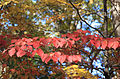 Dogwood fall leaves.jpg