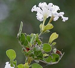 meaning of bignoniaceae