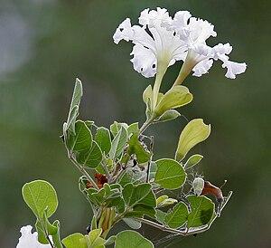 Bignoniaceae - Dolichandrone falcata in Hyderabad, India