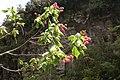 Dombeya elegans (pink) flowers 4.JPG