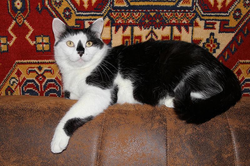 File:Domestic cat 2011 G02.jpg