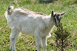 Domestic goat young 01.jpg