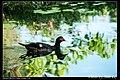 Domesticated ducks (5274407854).jpg
