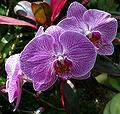 """Doritaenopsis (""""Sogo Cherry"""").jpg"""