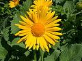 Doronicum grandiflorum flower.jpg