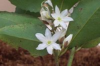 Doryphora sassafras flowers St Ives