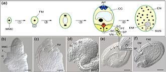 Double fertilization - Double fertilization in Arabidopsis