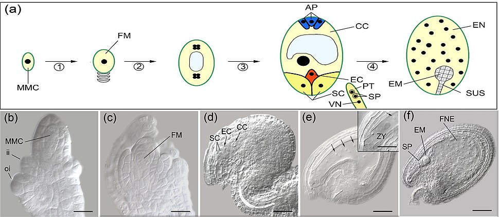 Double fertilization in arabidopsis 2